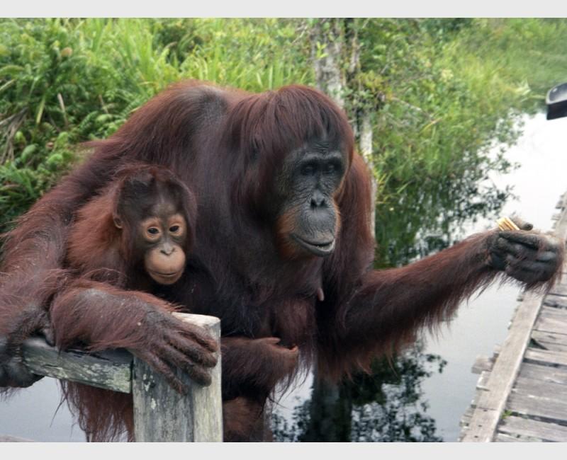 """""""Family on the dock"""" - Parents and young orangutan - Sepilok, Kalimantan, Indonesia, 1996"""