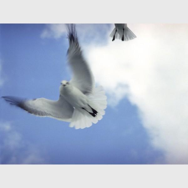 Seagulls after feeding - II - Nassau, The Bahamas, 1997