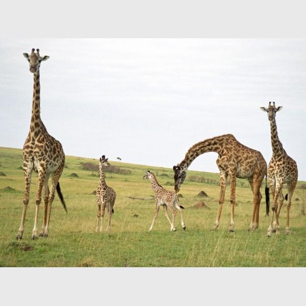 Giraffes in the Mara - II - Kenya, 1997