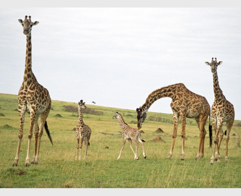 Giraffes in the Mara - II - Kenya, 1997