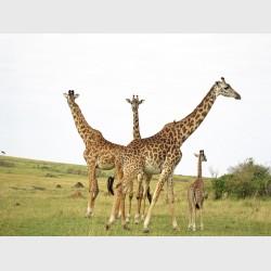Giraffes in the Mara - I - Kenya, 1997