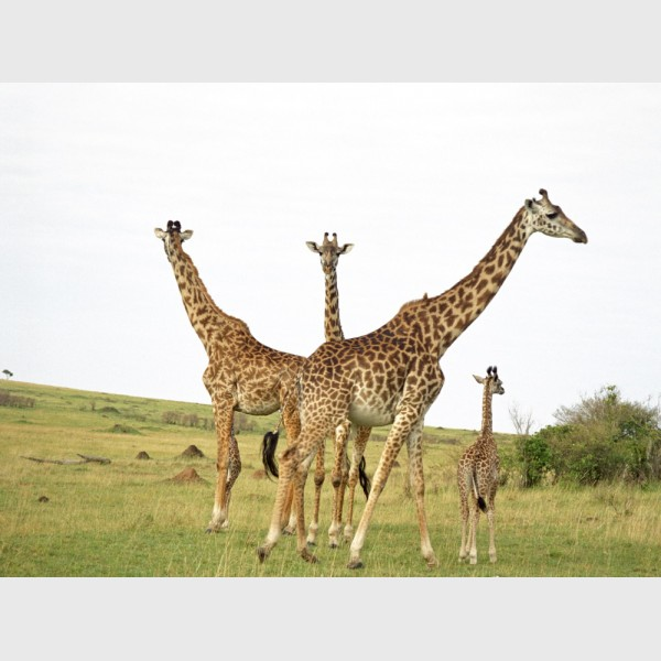 Giraffes in the Mara - I - Kenya, 1997
