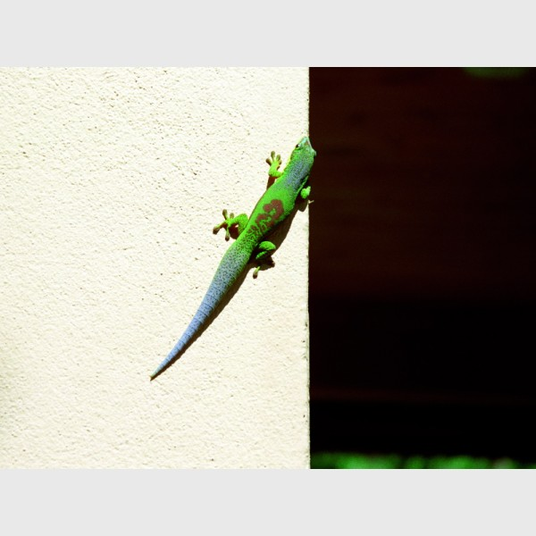 Lined day gecko (Phelsuma lineata bifasciata) on the hotel wall - Vakona Lodge, Périnet, Madagascar, 1997