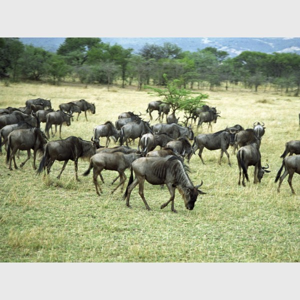 Wildebeest in motion - III - The Serengeti, Tanzania, 1997