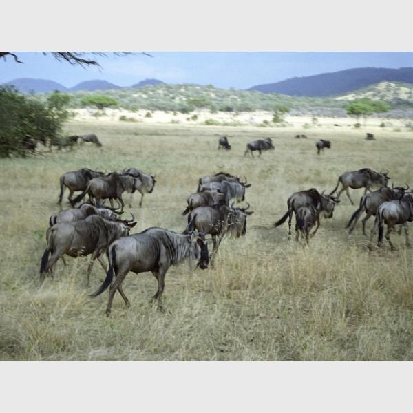 Wildebeest in motion - I - The Serengeti, Tanzania, 1997