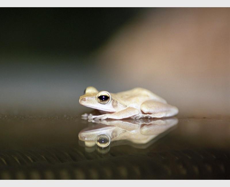 Tree frog & reflection - Siem Reap, Cambodia, 2001