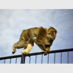 """Barbary macaque (""""rock ape"""") - Gibraltar, 2001"""