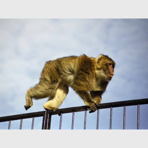 "Barbary macaque (""rock ape"") - Gibraltar, 2001"