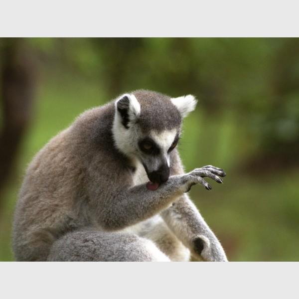 Ring-tailed lemur (Lemur catta) - Madagascar, 2005