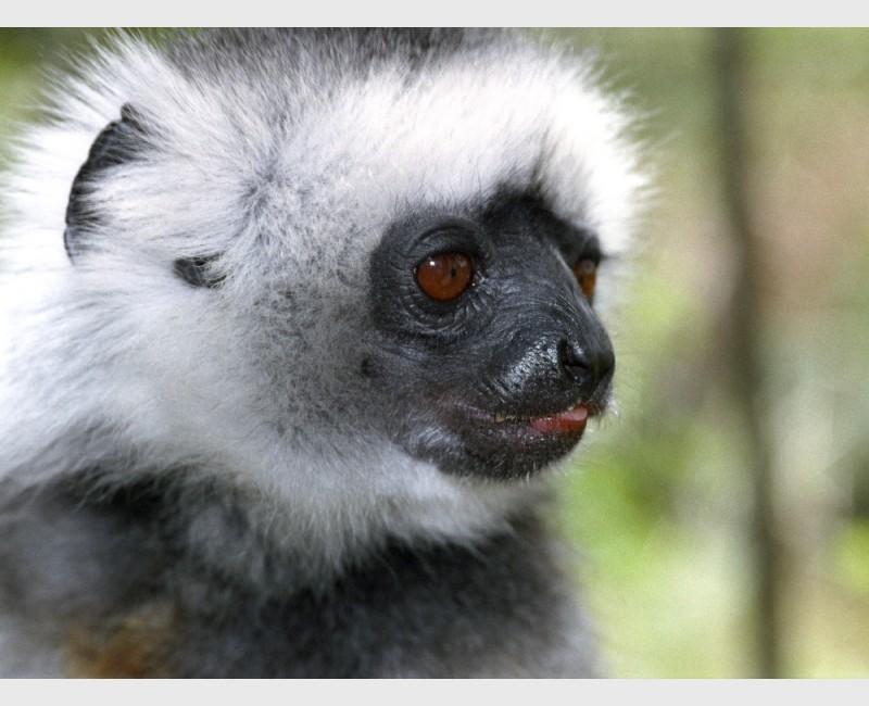 Diademed sifaka - II - Périnet, Madagascar, 2005