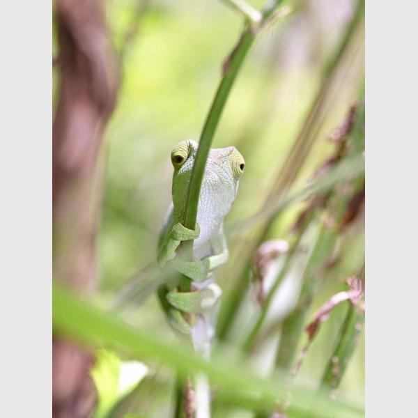 Chameleon holding on - Nosy Mangabe, Madagascar, 2005