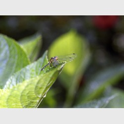 Resting dragonfly - Périnet, Madagascar, 2005