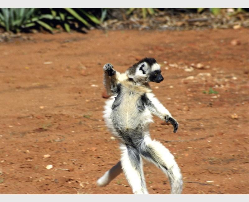 Open-armed Verreaux sifaka (Propithecus verreauxii) - III - Berenti, Madagascar, 2005