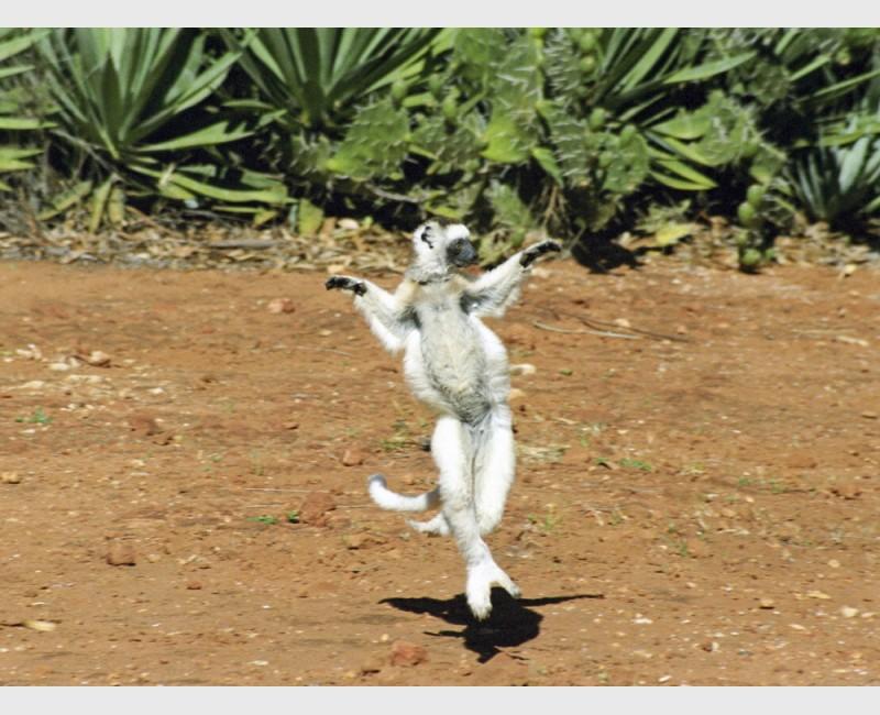 Open-armed Verreaux sifaka (Propithecus verreauxii) - I - Berenti, Madagascar, 2005
