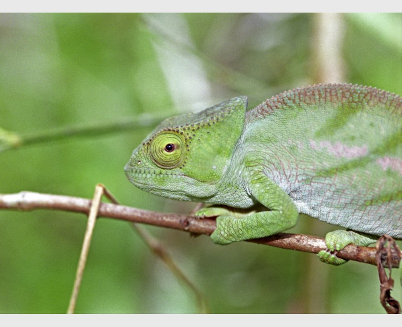Chameleon - Périnet, Madagascar, 2005