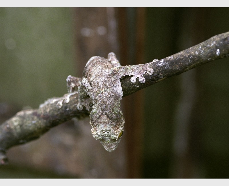 Mossy leaf tail gecko (Uroplatus sikorae) at a breeder's farm - Near Périnet, Madagascar, 2005