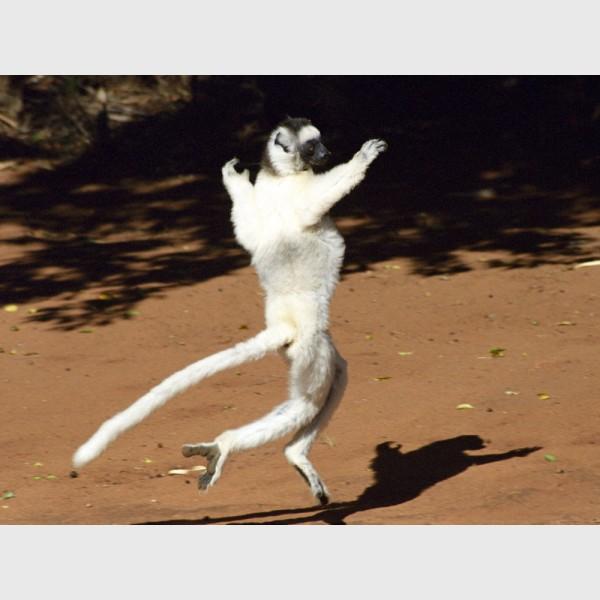 """""""Dancing"""" Verreaux sifaka (Propithecus verreauxii) - I - Berenti, Madagascar, 2005"""