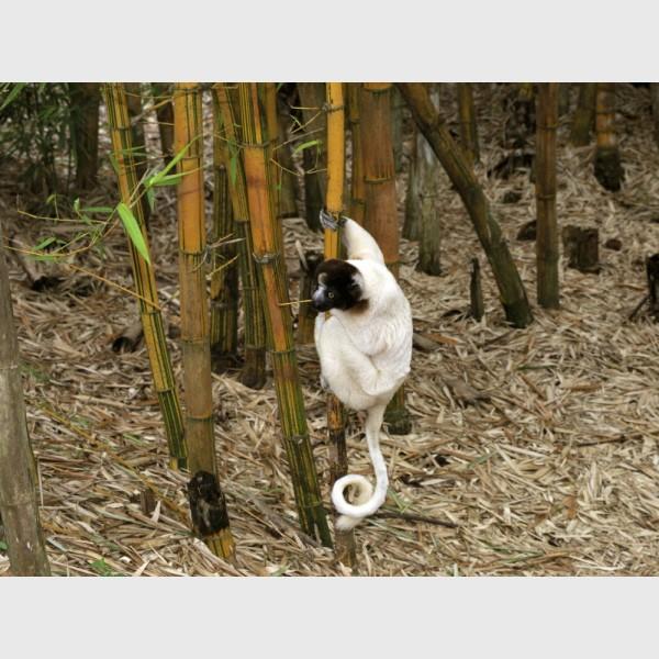 Crowned sifaka (Propithecus coronatus) on bamboo - Near Antananarivo, Madagascar, 2005