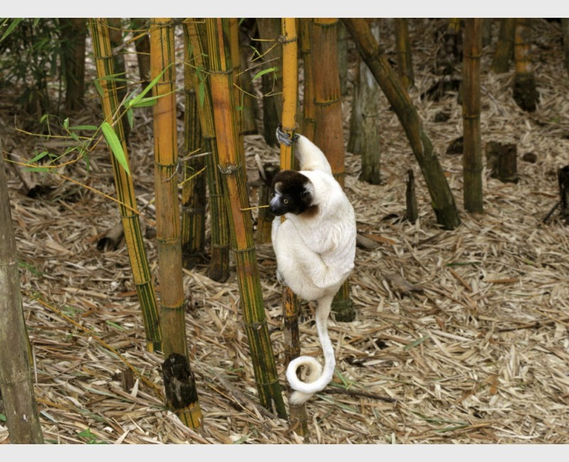 Crowned sifaka (Propithecus coronatus) on bamboo - Near Antananarivo, Madagascar, 2005
