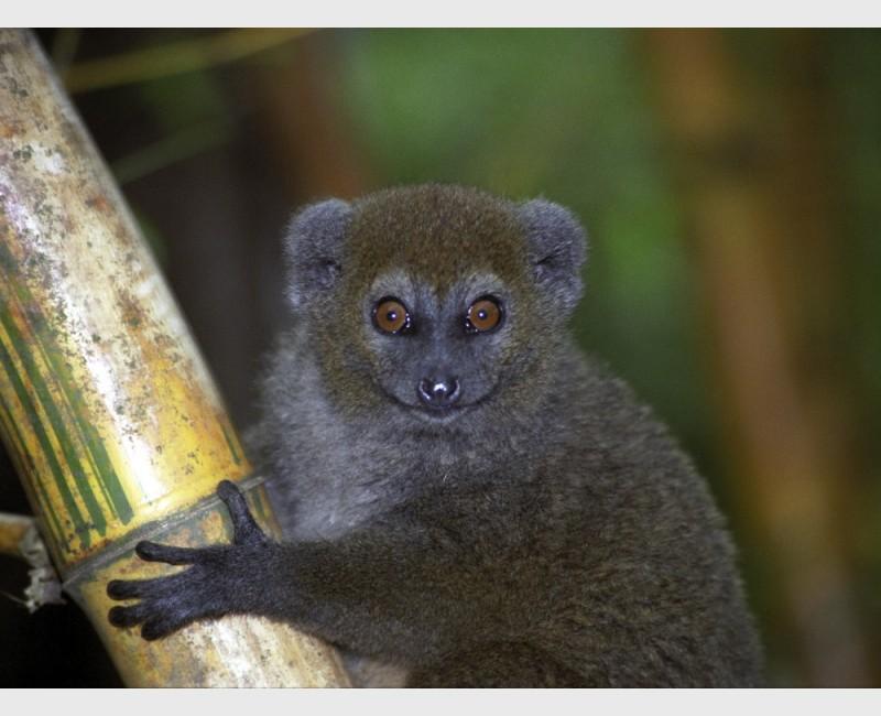 Bamboo lemur - Near Antananarivo, Madagascar, 2005