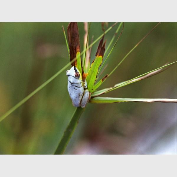 Blue reed frog or Blue back frog (Heterixalus madagascariensis) - Masoala, Madagascar, 2005