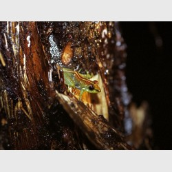 Frog camouflaged on bark - Madagascar, 2005
