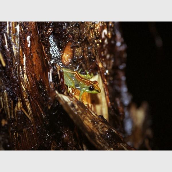 Frog camouflaged on bark - Madagascar, 2005