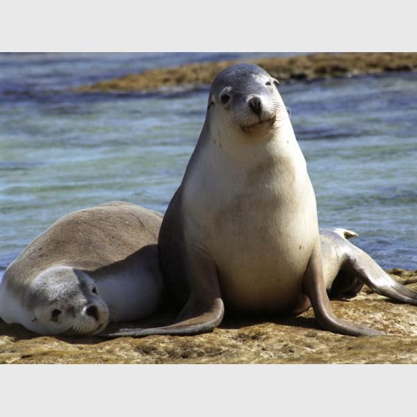 Sea lions - II - Baird Bay, Australia, 2006