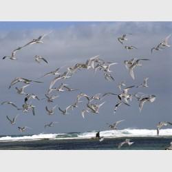 Gulls at Baird Bay - I - South Australia, 2006