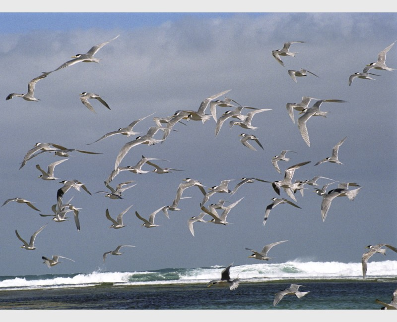 Gulls at Baird Bay - I - South Australia, 2006