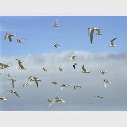 Gulls at Baird Bay - II - South Australia, 2006