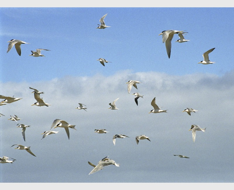 Gulls at Baird Bay - II - South Australia, 2006