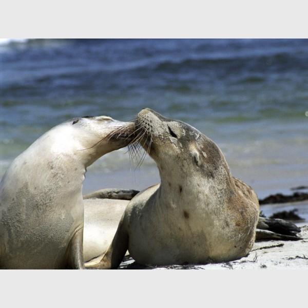 Sea lions - I - Kangaroo Island, Australia, 2006