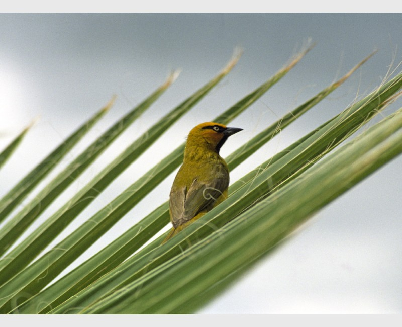Male spectacled weaver (Ploceus ocularis) - The Mara, Kenya, 2006