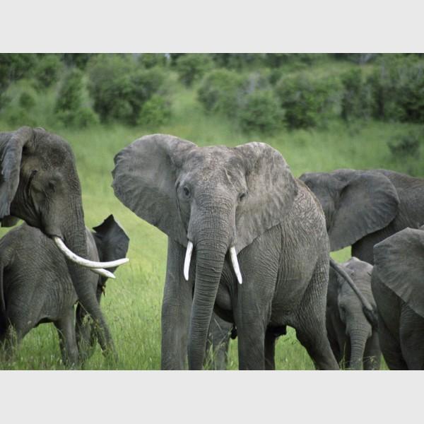 Elephants in the Mara - Kenya, 2006