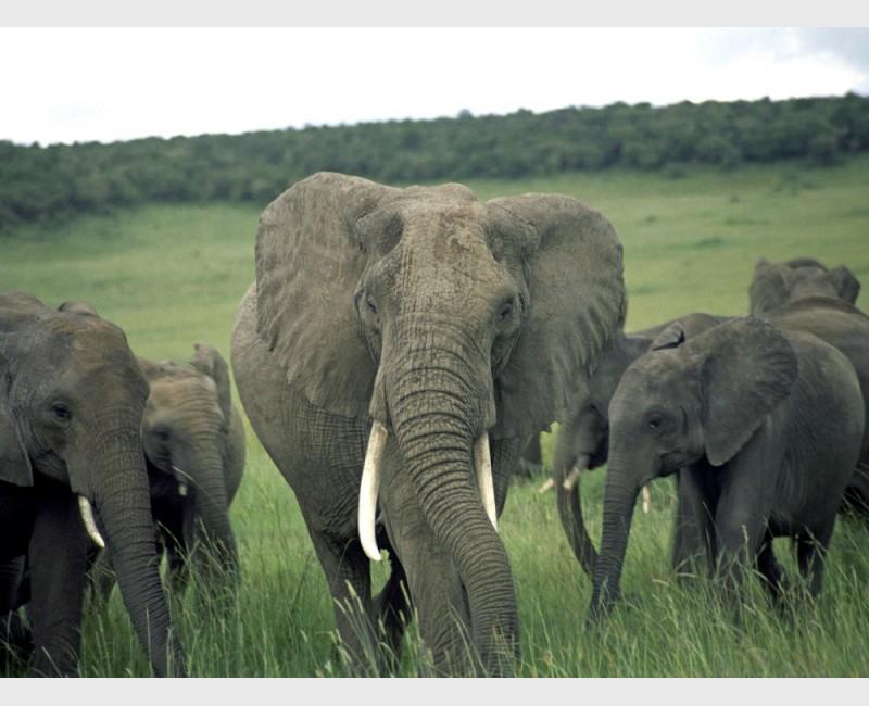 African elephants (Loxodonta africana) - The Mara, Kenya, 2006