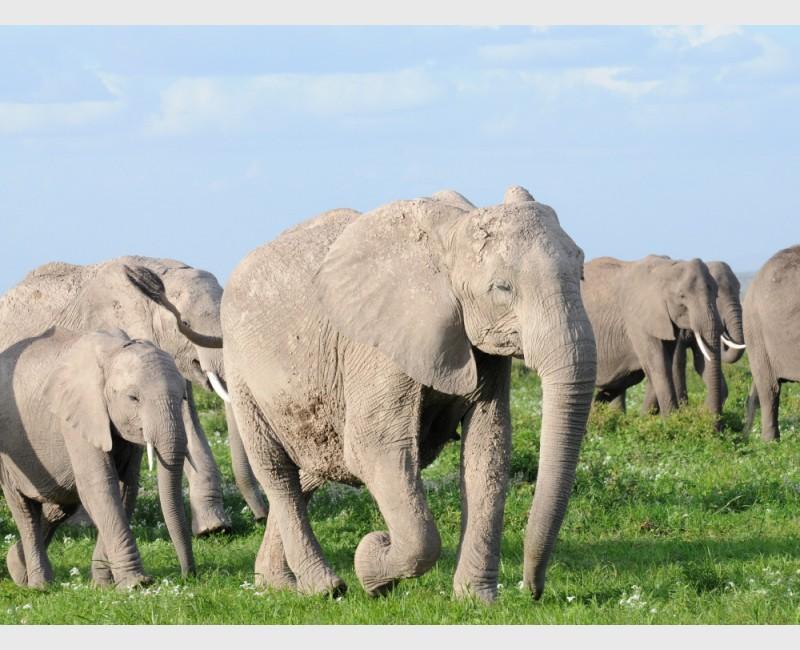 Huge elephant herd at Amboseli - Kenya, 2010