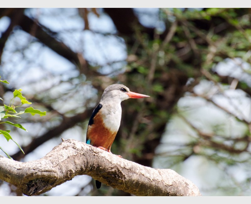 Grey-headed kingfisher - Amboseli, Kenya, 2010