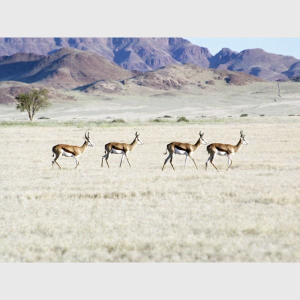 Springbok antelopes - Namibia, 2012