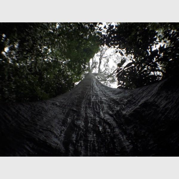 Gigantic tree - Taman Negara, Malaysia, 1999