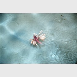 A lionfish in the shallows and light off a pontoon - Sipadan, Malaysia, August 2007