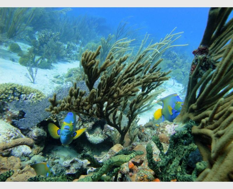 Three queen angelfish among corals - The Exumas, December 2009