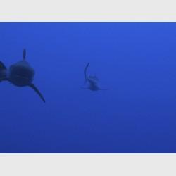 Silky sharks - Nassau, The Bahamas, March 2011