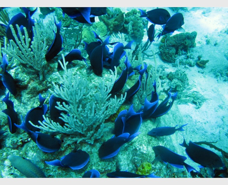 School of blue tang, grazing - The Exumas, April 2011