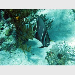 French angelfish -- intermediate stage - The Exumas, April 2011