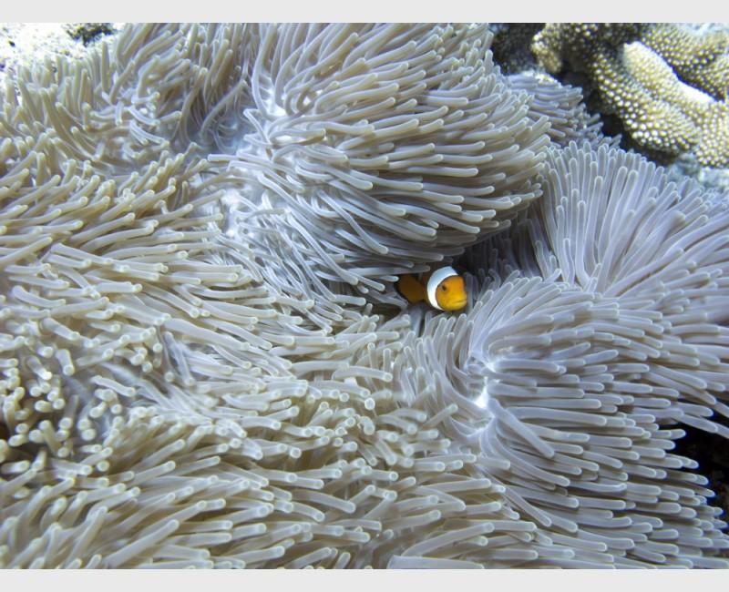 Amphiprion ocellaris - Gili Trawangan, Indonesia, August 2012