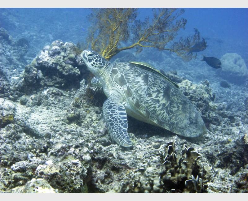 Turtle with remora - Gili Trawangan, Indonesia, August 2012