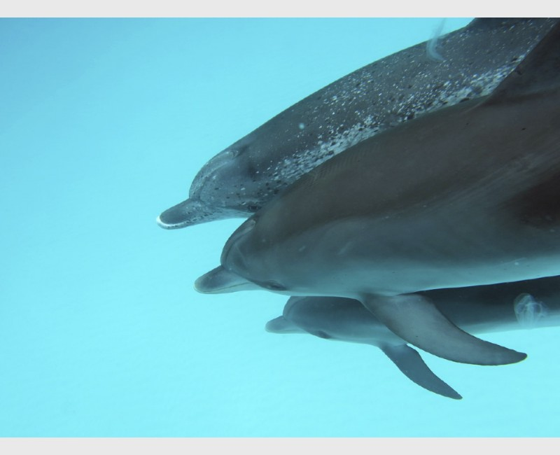 Spotted dolphin generations - Bimini, The Bahamas, August 2013