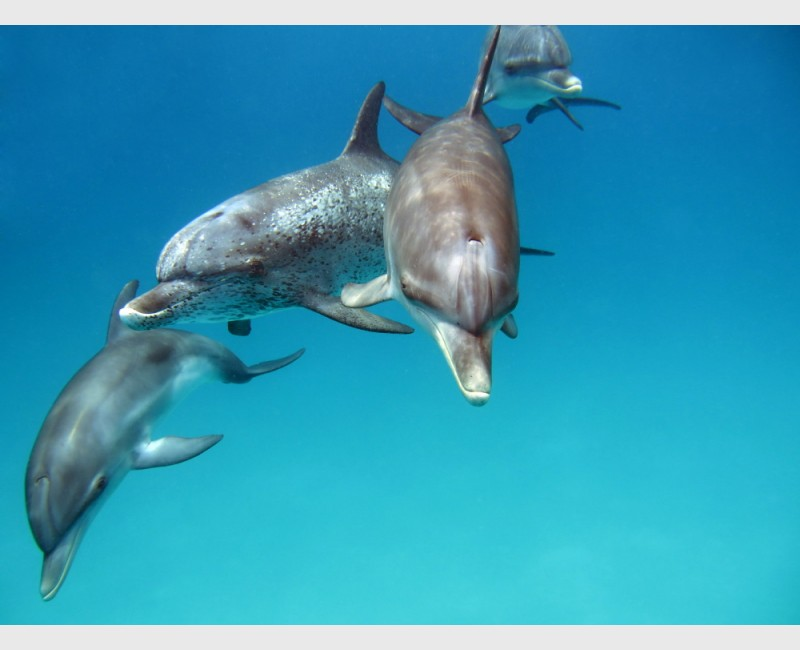 Spotted dolphins - West End or Bimini, The Bahamas, August 2013