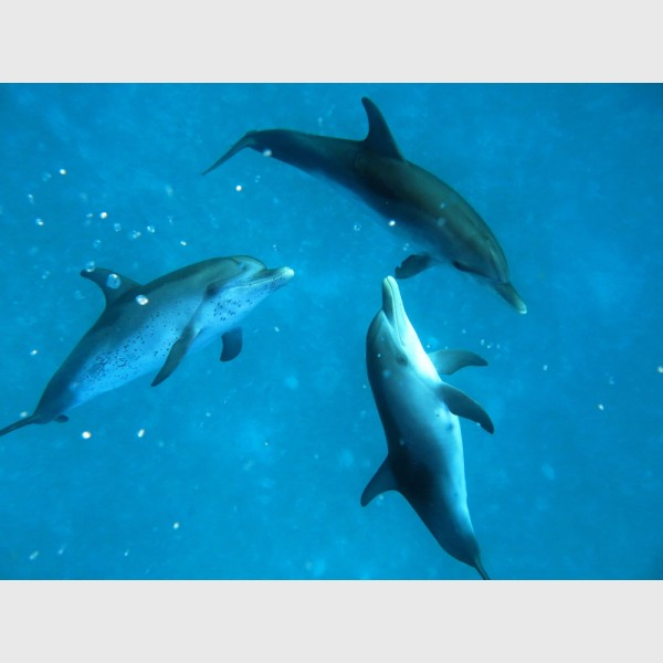 Trio of young spotted dolphins -- probably males - Bimini, The Bahamas, August 2013
